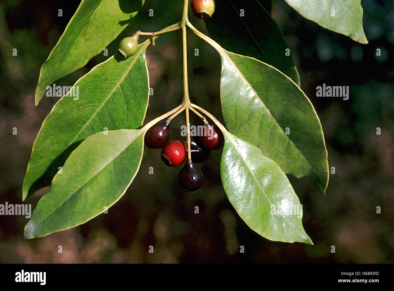 Fruits. Santalum Album. Sandalwood tree. Family: Santalaceae. Well-known for its valuable fragrant heartwood which - Stock Image
