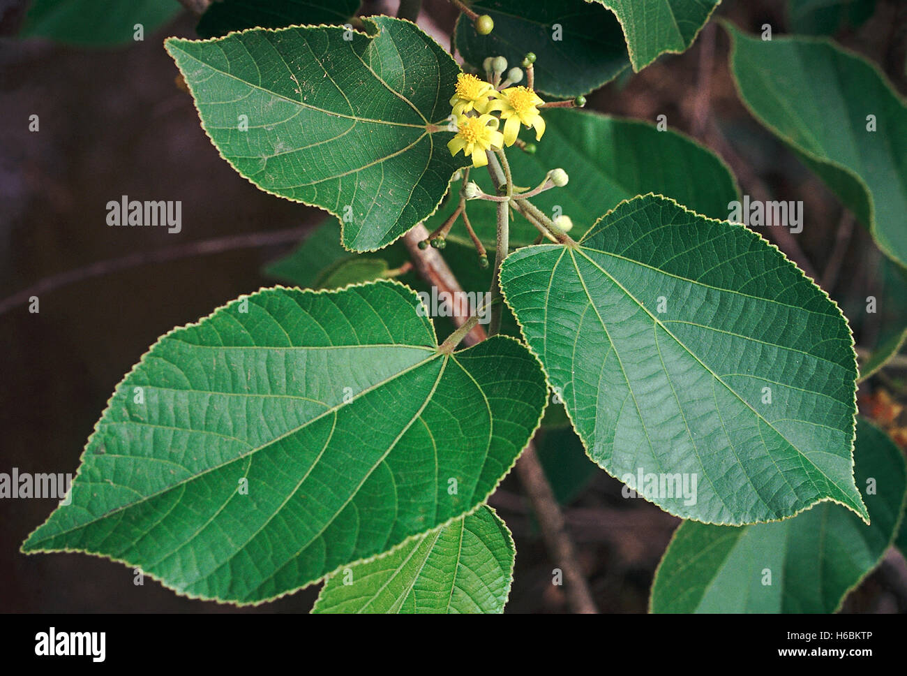 Flowers. Grewia Tiliaefolia. Family: Tiliaceae. A medium-sized deciduous tree with strong flexible wood. - Stock Image
