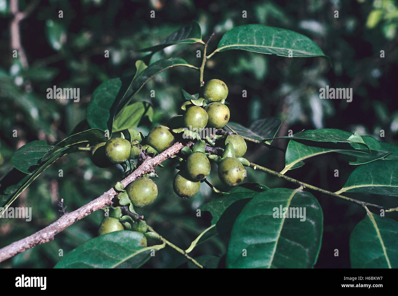 Leaves and fruit. Diospyros Sylvatica. Family: Ebenaceae. A large evergreen tree with a dark, smooth trunk marked Stock Photo