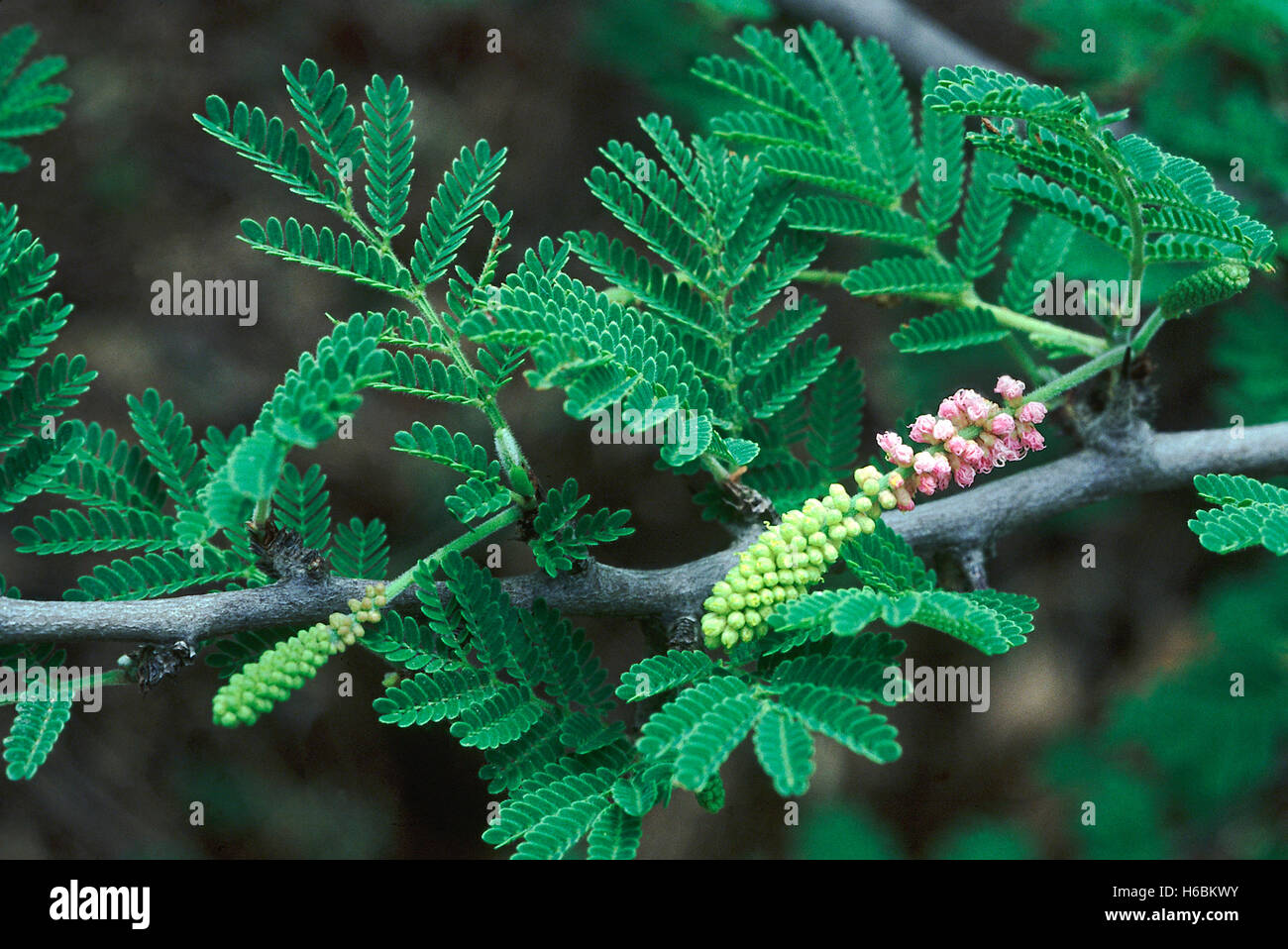 Flowers.Dichrostachys Cinerea. Family: Mimosaceae. A small tree with interesting flowers. The wood is used to make - Stock Image