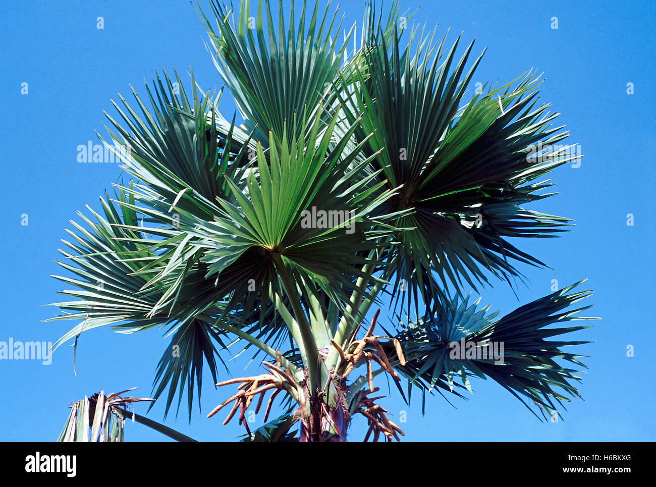 Cron with leaves. Borassus Flabellifer. Palmyra palm. Family: Arecaceae. A tall, slow growing, long-lived, fan-leaf - Stock Image