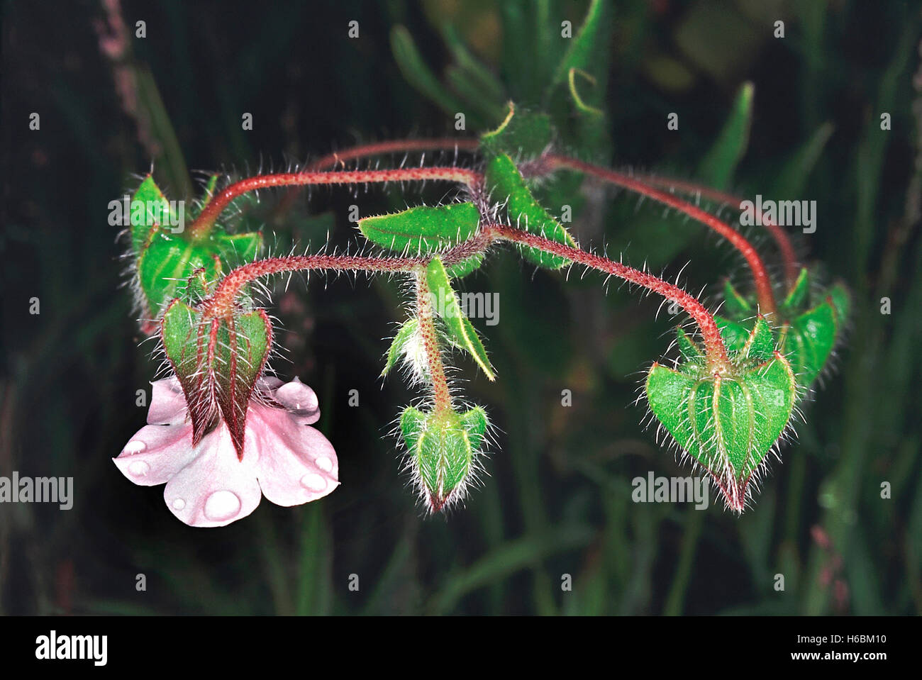 A small herb found in grassy meadows and fallow fields. Trichodesma sp. Family: Boraginaceae. - Stock Image