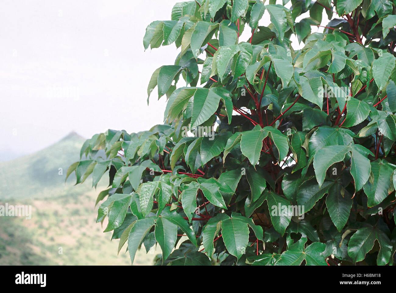Leaves. Cochlospermum Religiosum. Yellow silk cotton tree. Family: Cochlospermaceae. Medium-sized deciduous tree - Stock Image