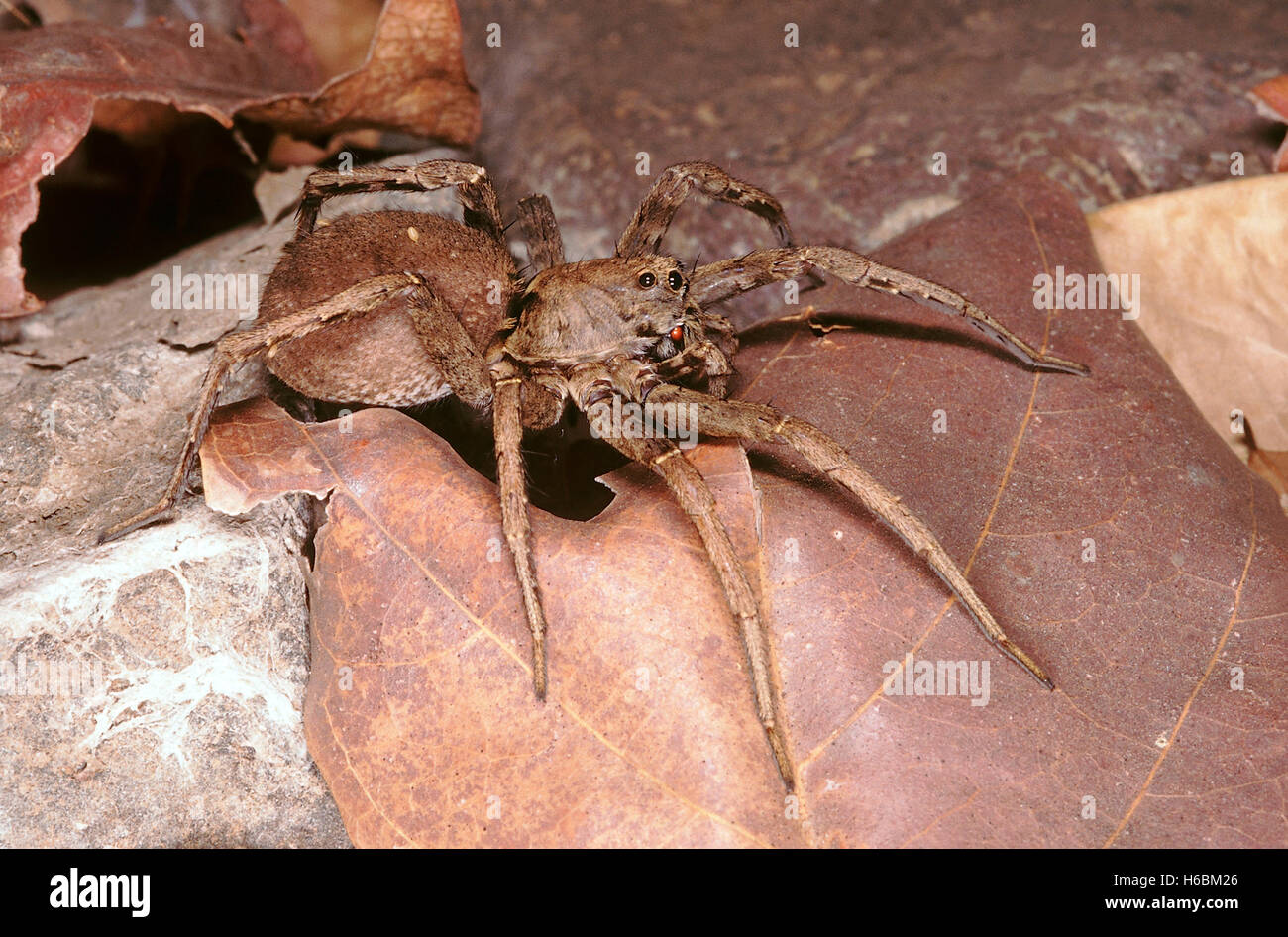 Wolf spider. A nocturnal spider which actively hunts for its prey on the ground instead of building a web. - Stock Image