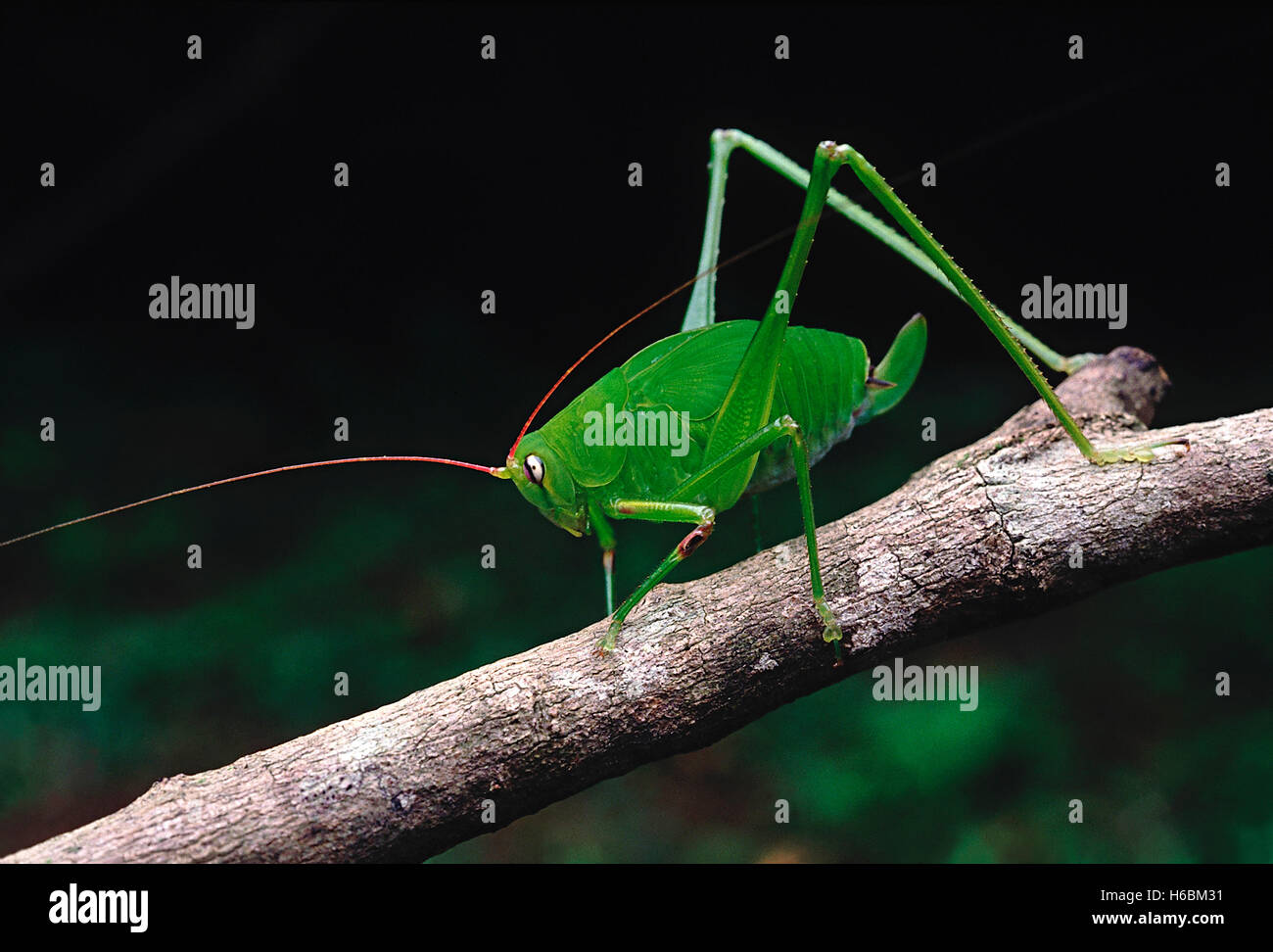 Bush cricket. A cricket with extremely long antennae and hind legs. The body colour blends in well with the greenery - Stock Image