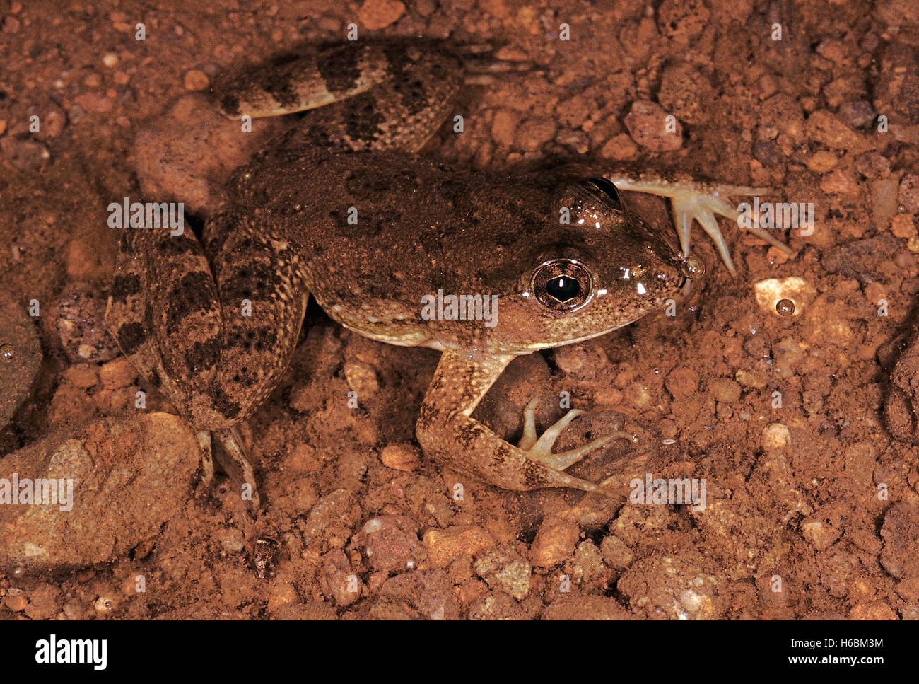 Occidozyga Cyanophlyctis. Indian skipping frog. A medium sized frog usually found in or immediately adjacent to - Stock Image