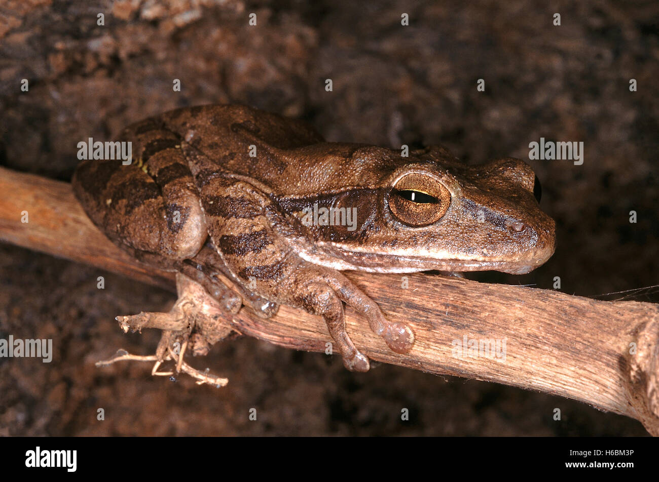 Polypedates Maculatus. Common tree frog. A medium sized frog that is found in moist deciduous forest areas. It lives - Stock Image