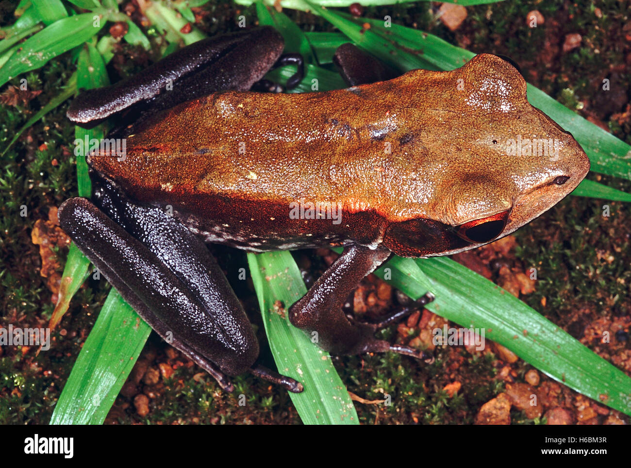 Rana Curtipes. Bicoloured frog. A forest frog which produces large reddish brown tadpoles that develop in forest - Stock Image