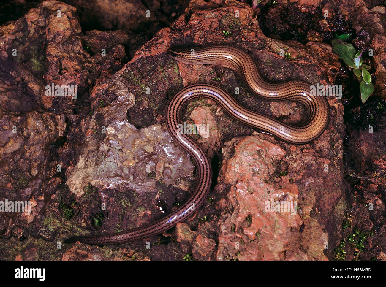 Riopa sp. Snake skink. An extremely elongated skink with reduced limbs. They are mainly found in the upper layers - Stock Image