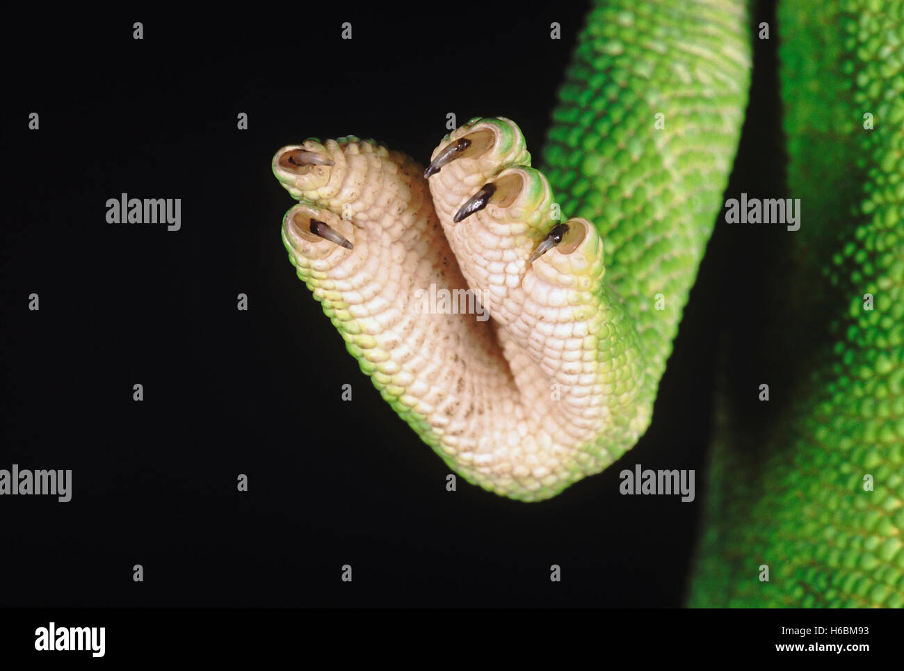Chameleon Zeylanicus. A close up of the foot and claws. The chameleon has the ability to change its colour as well - Stock Image