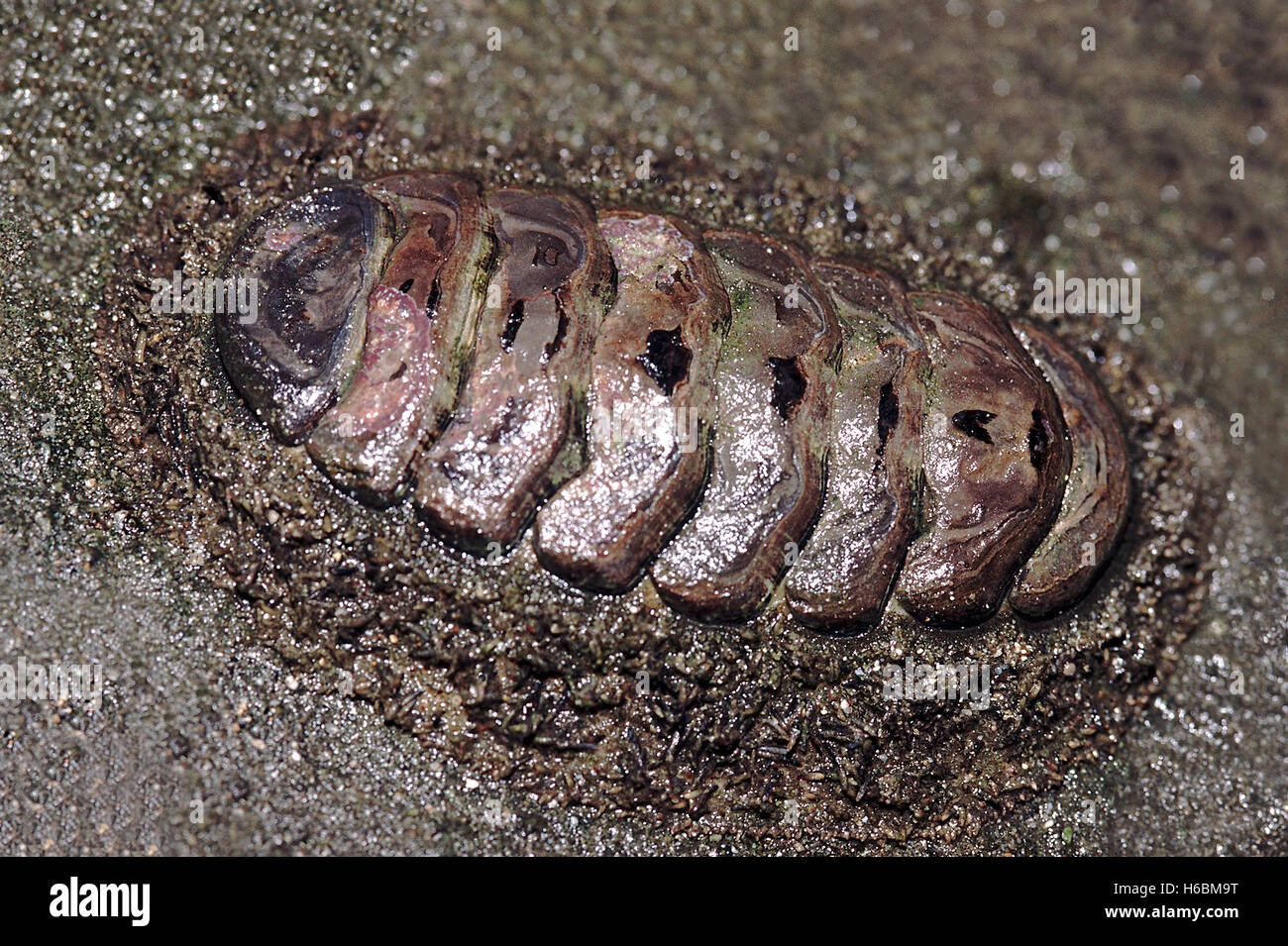 Chiton. This is a very primitive mollusk with the shell consisting of a number of plates. Chitons are found on rocky - Stock Image