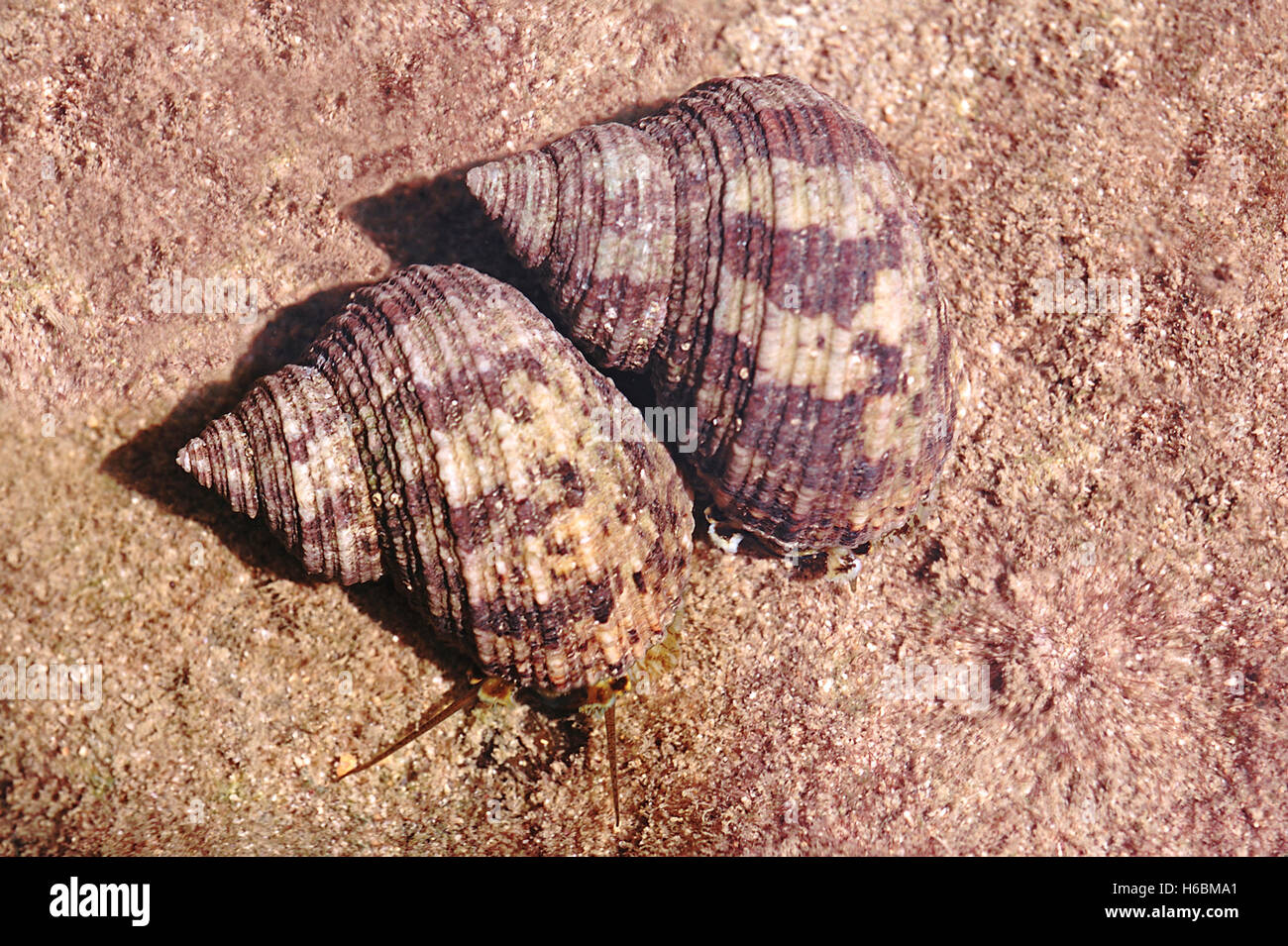 Marine snails. This snails are exploited for their shells, which are cut, polished and made into buttons and other - Stock Image