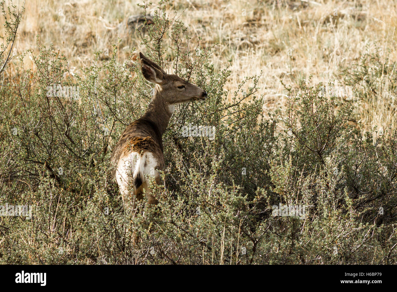 White tail deer eating brush. Stock Photo