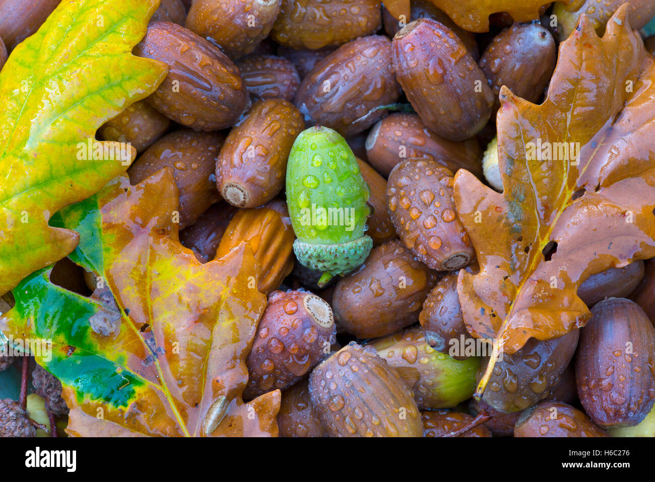 Oak Quercus robur Fallen Acorns in autumn - Stock Image