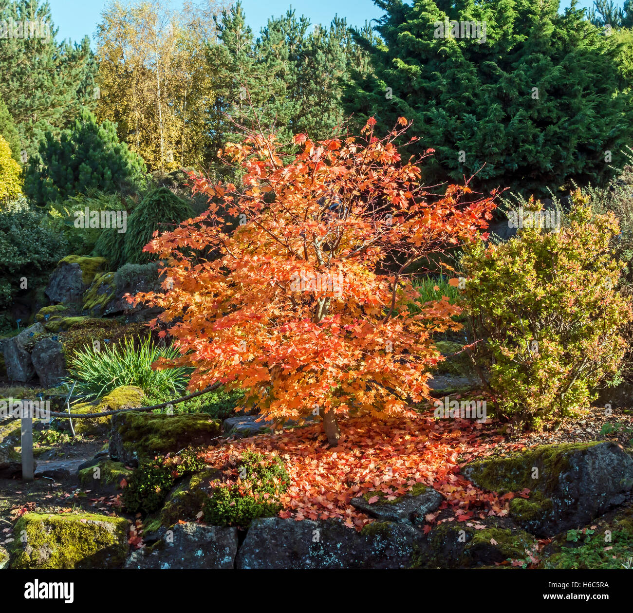 Acer Sieboldianum plant in Rock Garden Royal Botanic Garden in Edinburgh Scotland in autumn Stock Photo