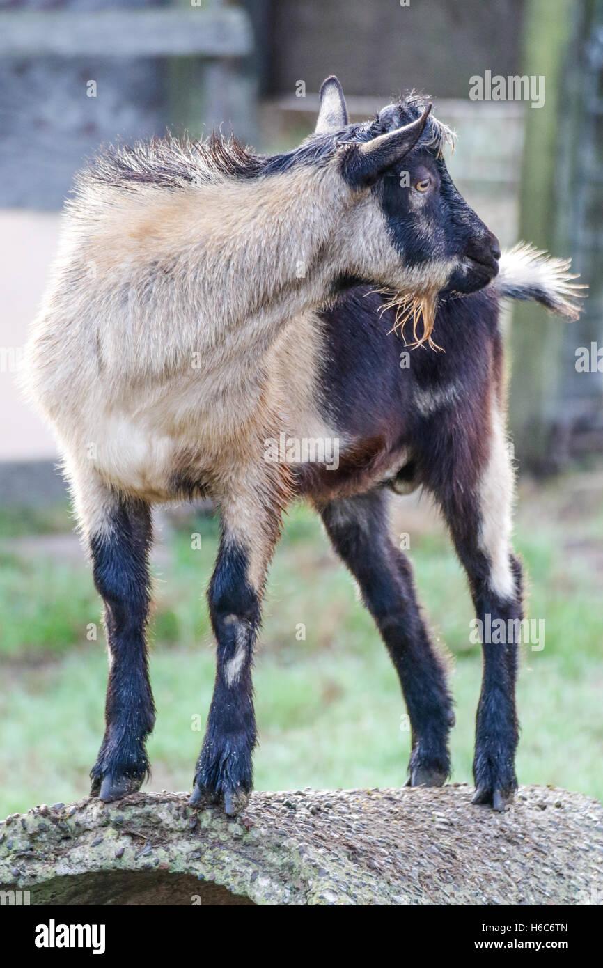 Billy goat standing around - Stock Image