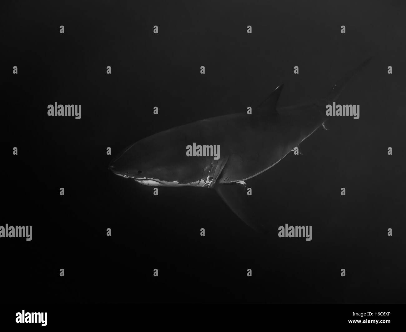 Great white shark swimming alone in the darkness - Stock Image