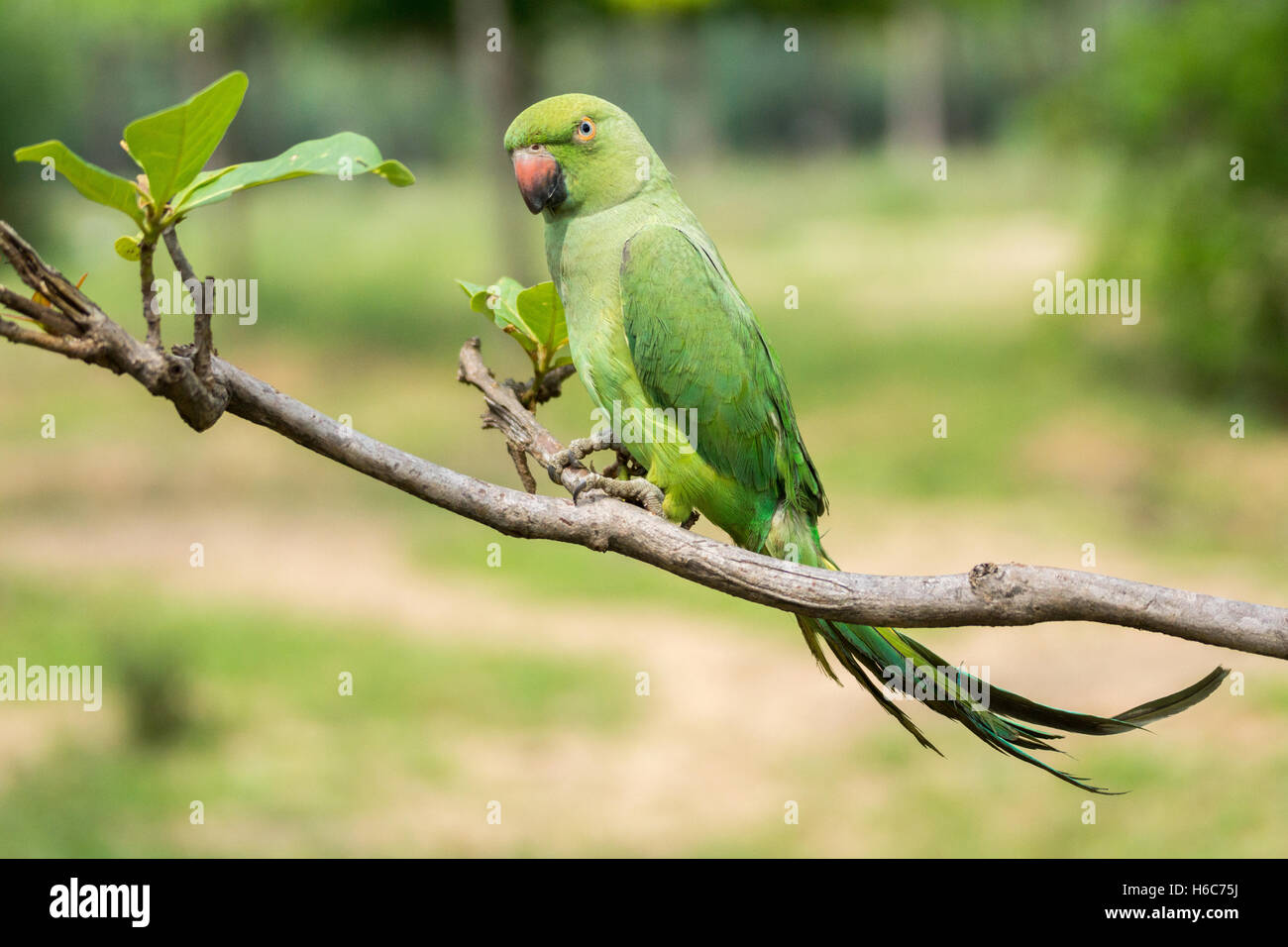 Green fortune telling parrot on branch of tree. - Stock Image