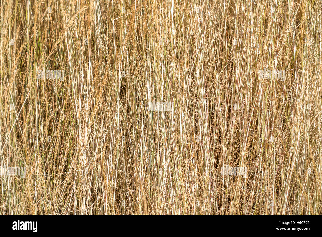 Tall dry grass closeup Texture or background Stock Photo 124429765