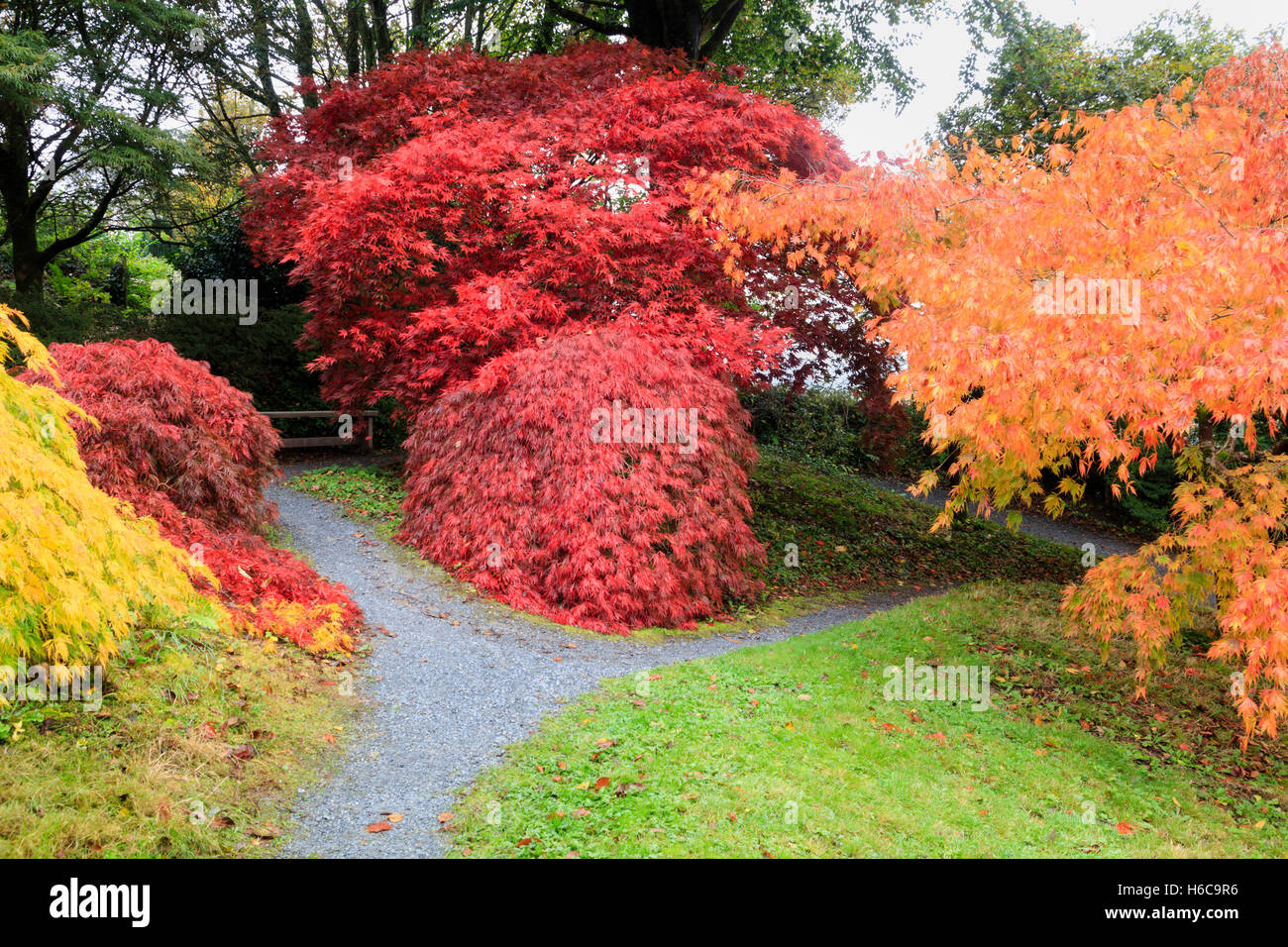 Reds, yellow and orange Autumn leaf colour from Acer palmatum varietes in the Acer Glade at The Garden House, Devon - Stock Image