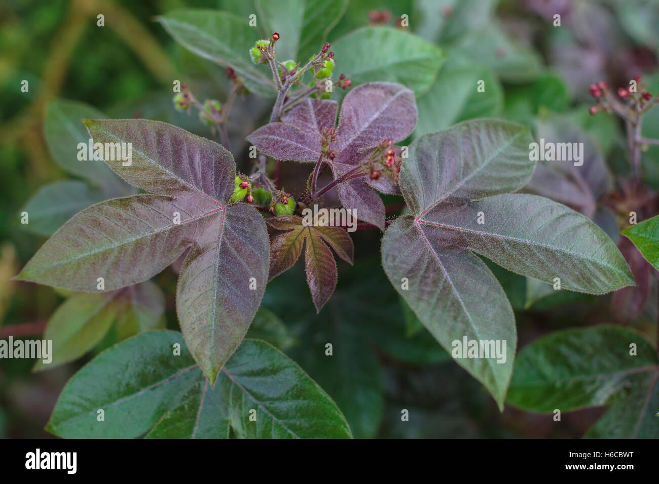 A Jatropha gossypiifolia plant, aka pinon colorado, growing in the