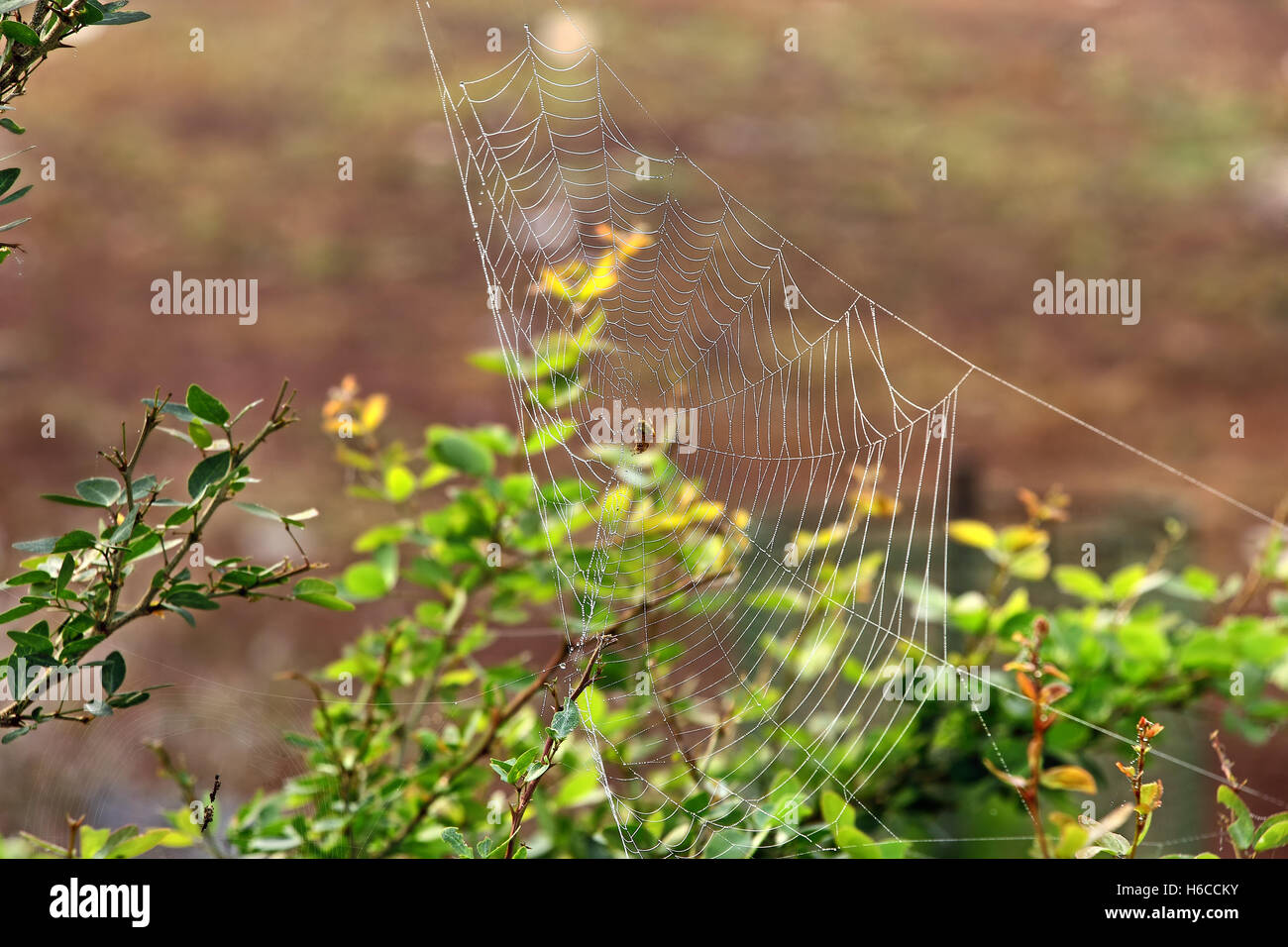 Glistening spider web with dew drops among bush vegetation on autumn morning - Stock Image