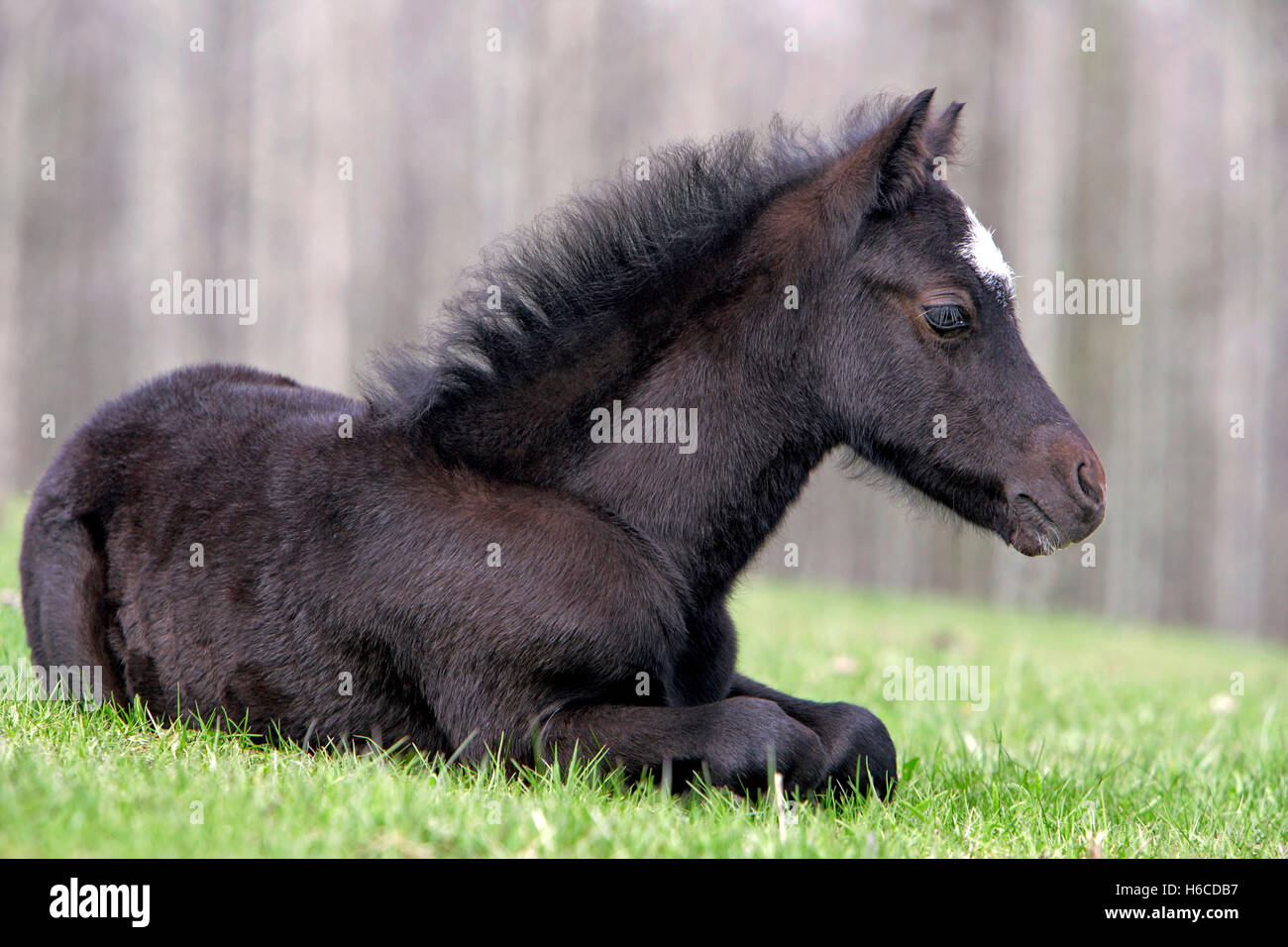 Black Welsh Pony Foal , one week old, resting at pasture - Stock Image