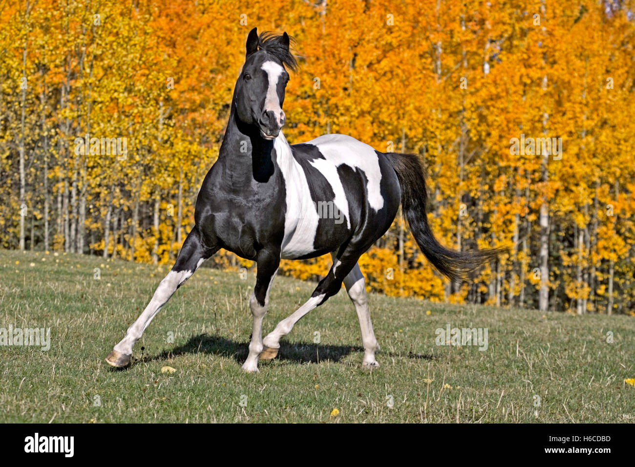 Tobiano Pinto Stallion trotting in meadow in front of Aspen trees in autumn colors - Stock Image