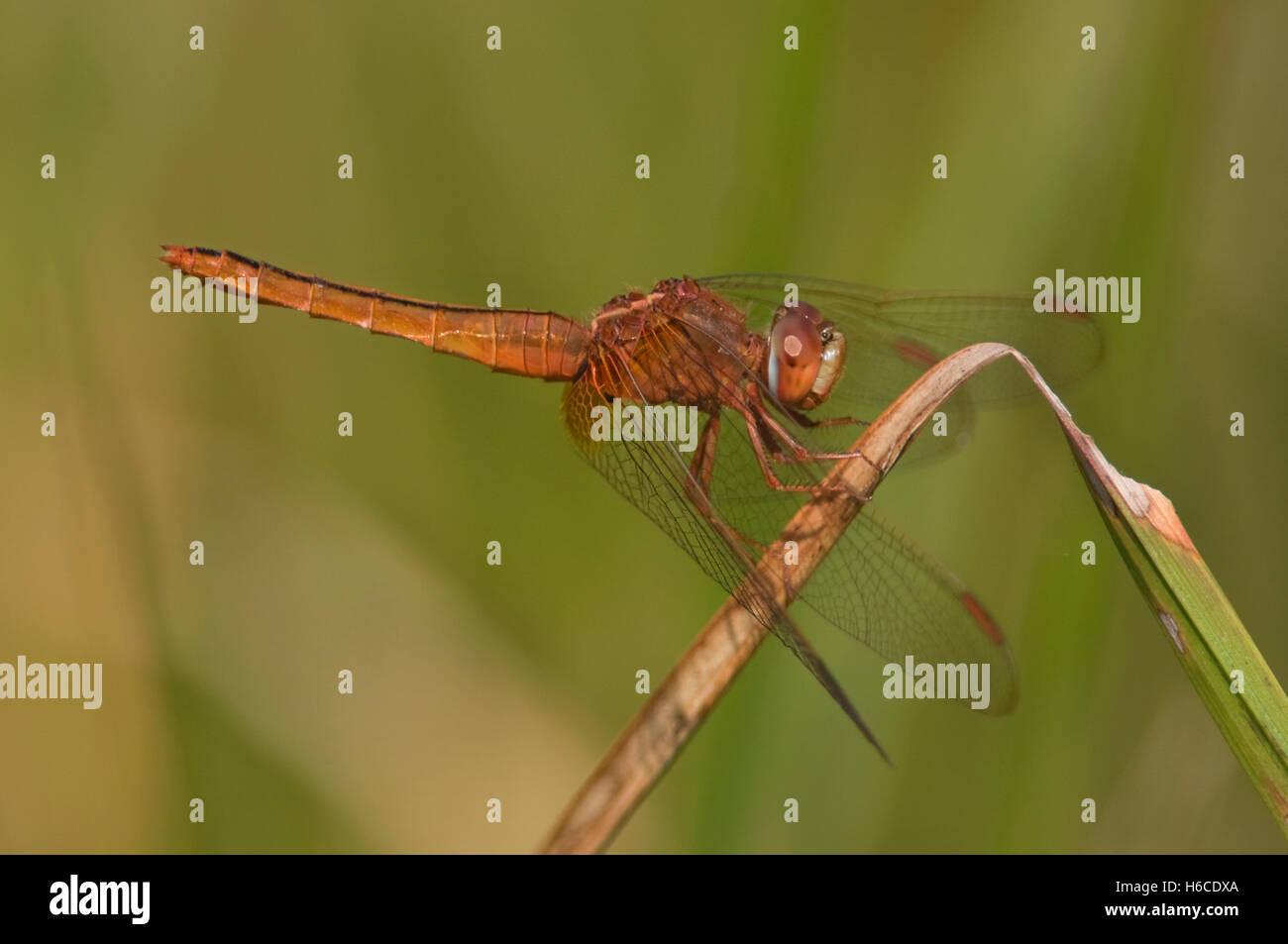 NEPAL, Royal Bardia National Park, Wandering Glider Dragonfly, Pantala flavescens Stock Photo