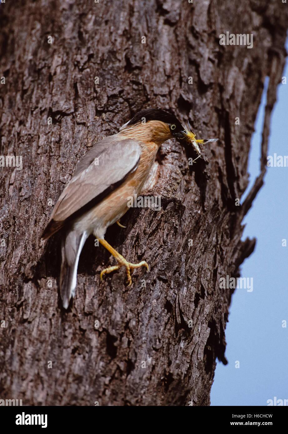 Brahminy Myna or Brahminy Starling,(Sturnus pagodarum), at nest hole with insect food, Rajasthan, India - Stock Image