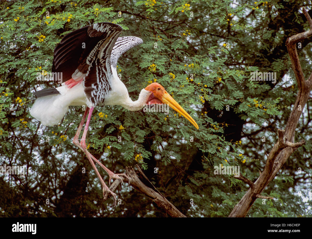 male Painted Stork showing breeding plumage,Mycteria leucocephala,spreads wings as it searches for twigs as nest - Stock Image