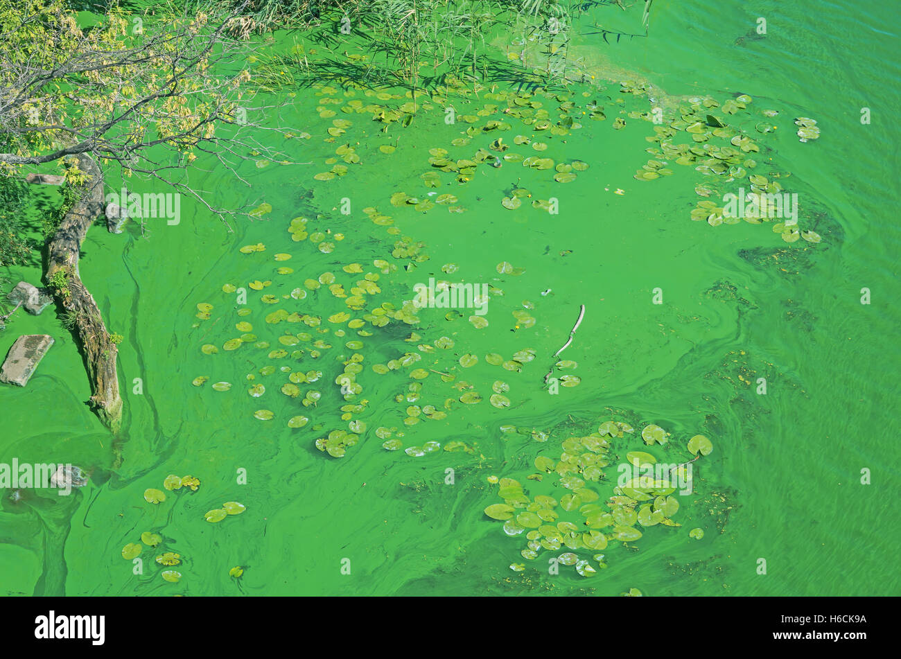 Algae blooms in stagnant backwaters due to emission of phosphates Stock Photo
