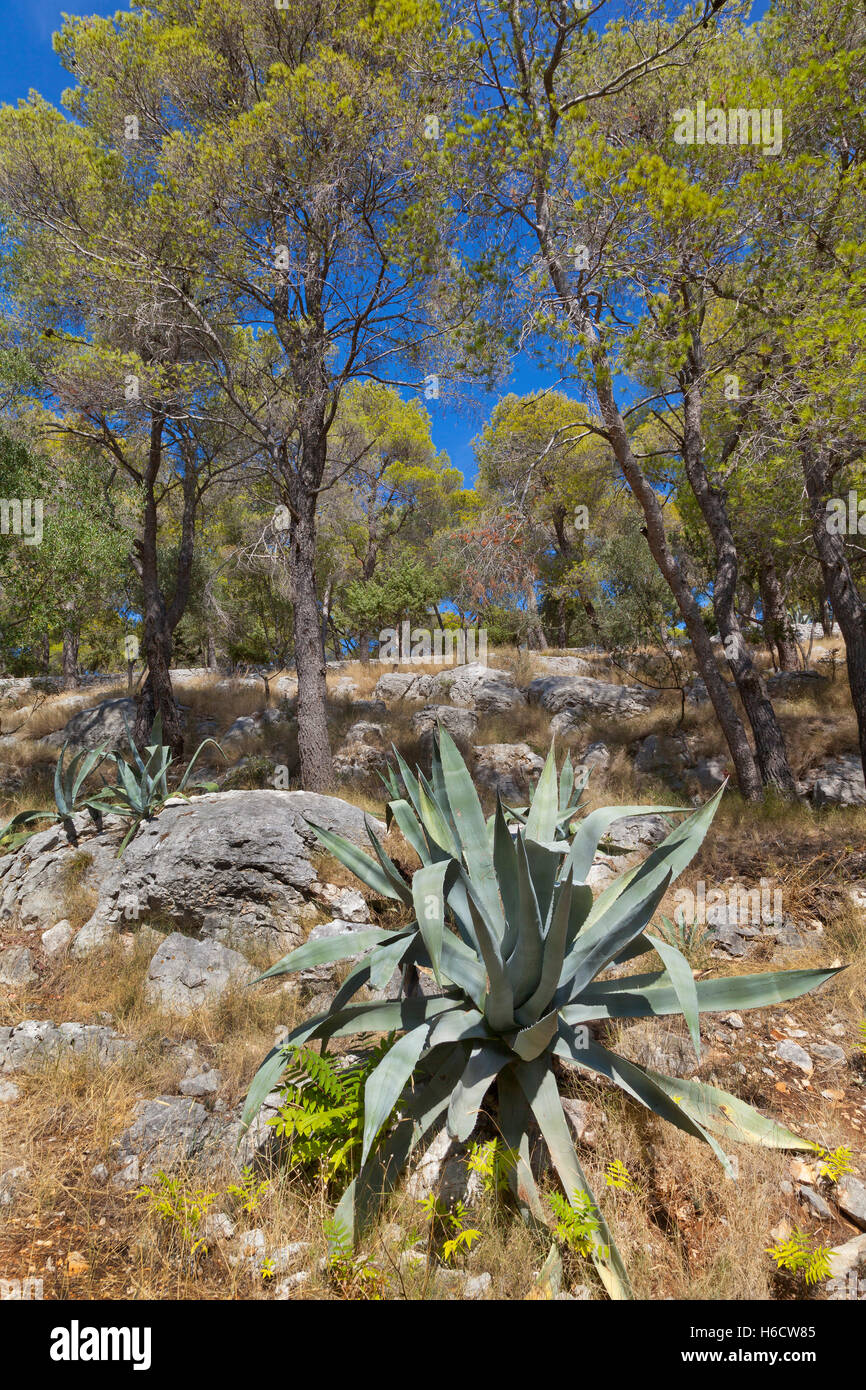 Agave succulent growing in Croatia, bright sun. - Stock Image