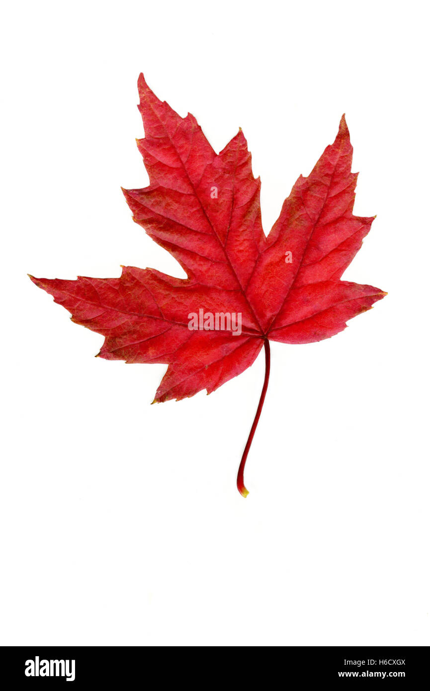 Red maple leaf on white background - Stock Image