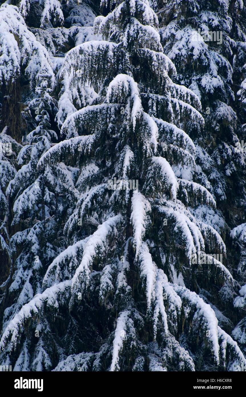 Firs in winter near Willamette Pass, Willamette National Forest, Oregon - Stock Image