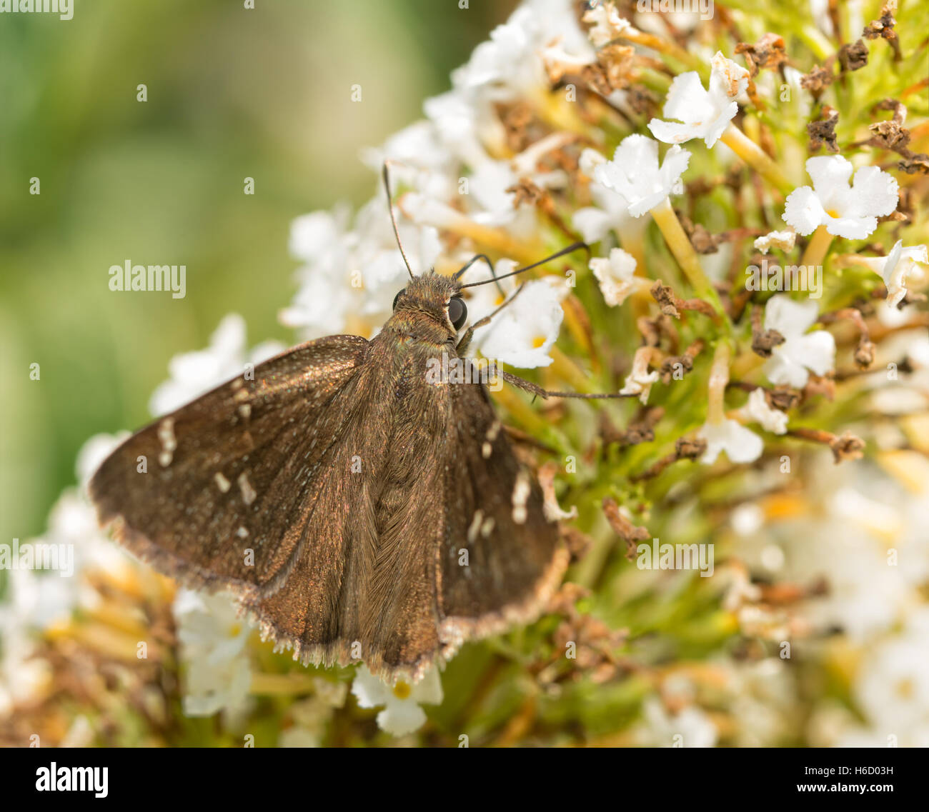 Confused Cloudywing butterfly feeding on white Butterflybush flowers - Stock Image