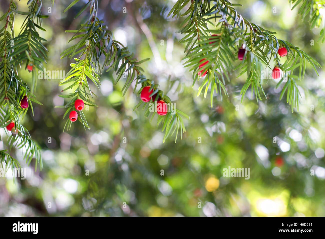 European yew (taxus baccata) tree - Stock Image