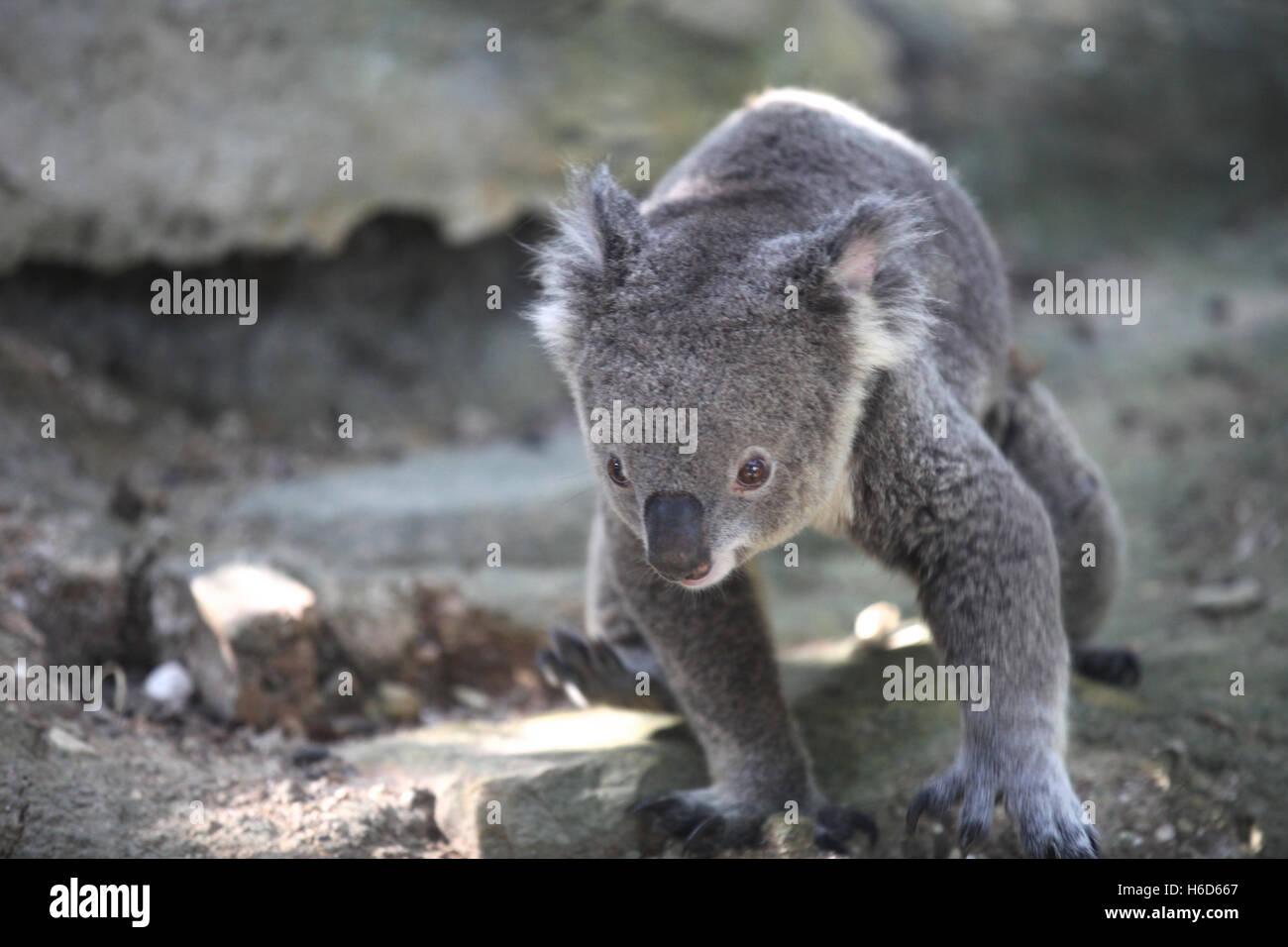 Koala is a small marsupial animal, Thailand, Southeast Asia - Stock Image