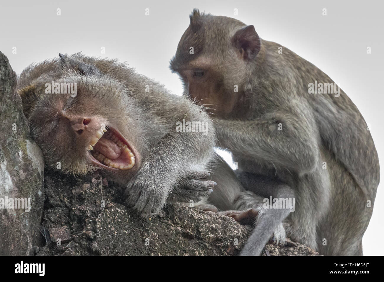 Yawning & being groomed Long-Tailed Macaques Angkor Wat Cambodia - Stock Image