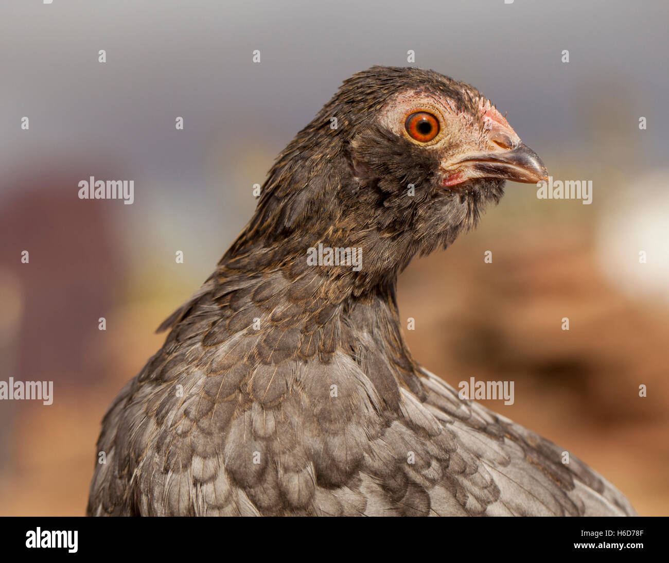 Chicken On The Farm - Stock Image