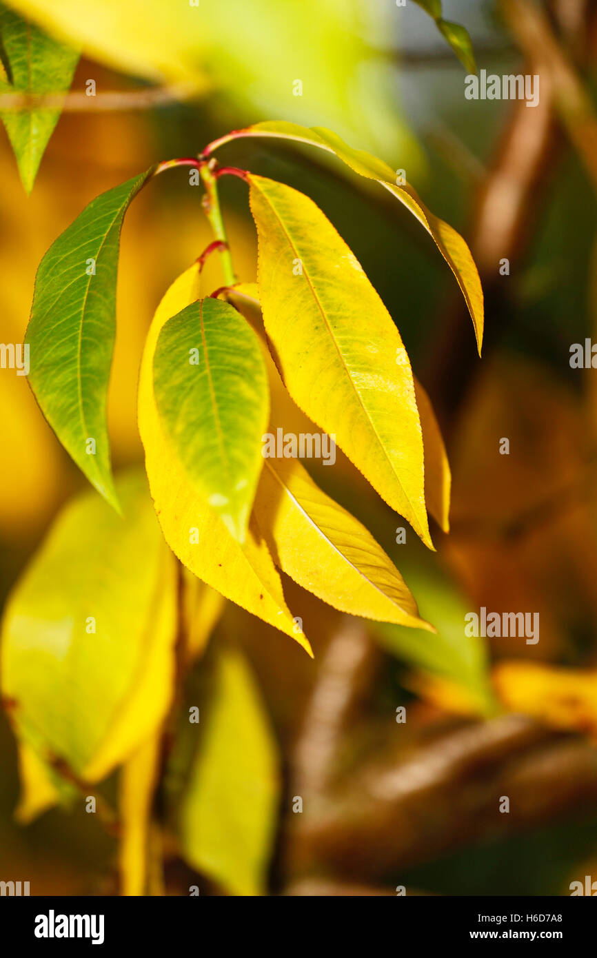 Peach (Prunus persica), branch with leaves in fall - Stock Image