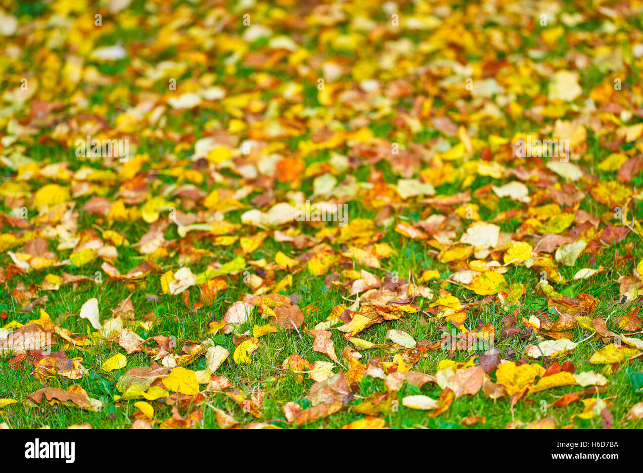 Leaves fallen on grass. Fall. Autumn - Stock Image