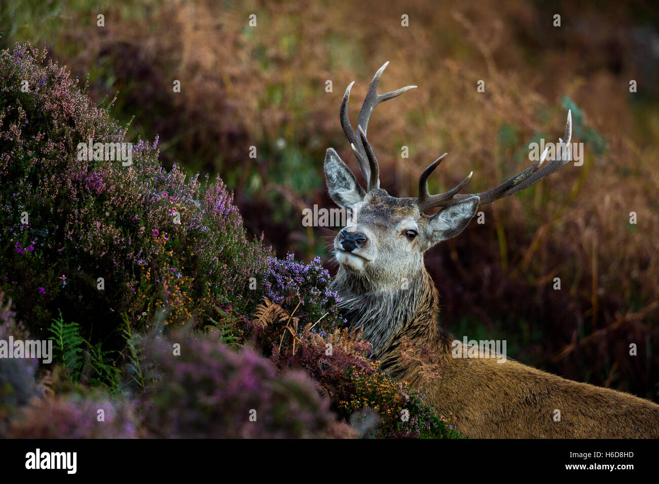 Red Deer stag in heather and bracken. - Stock Image