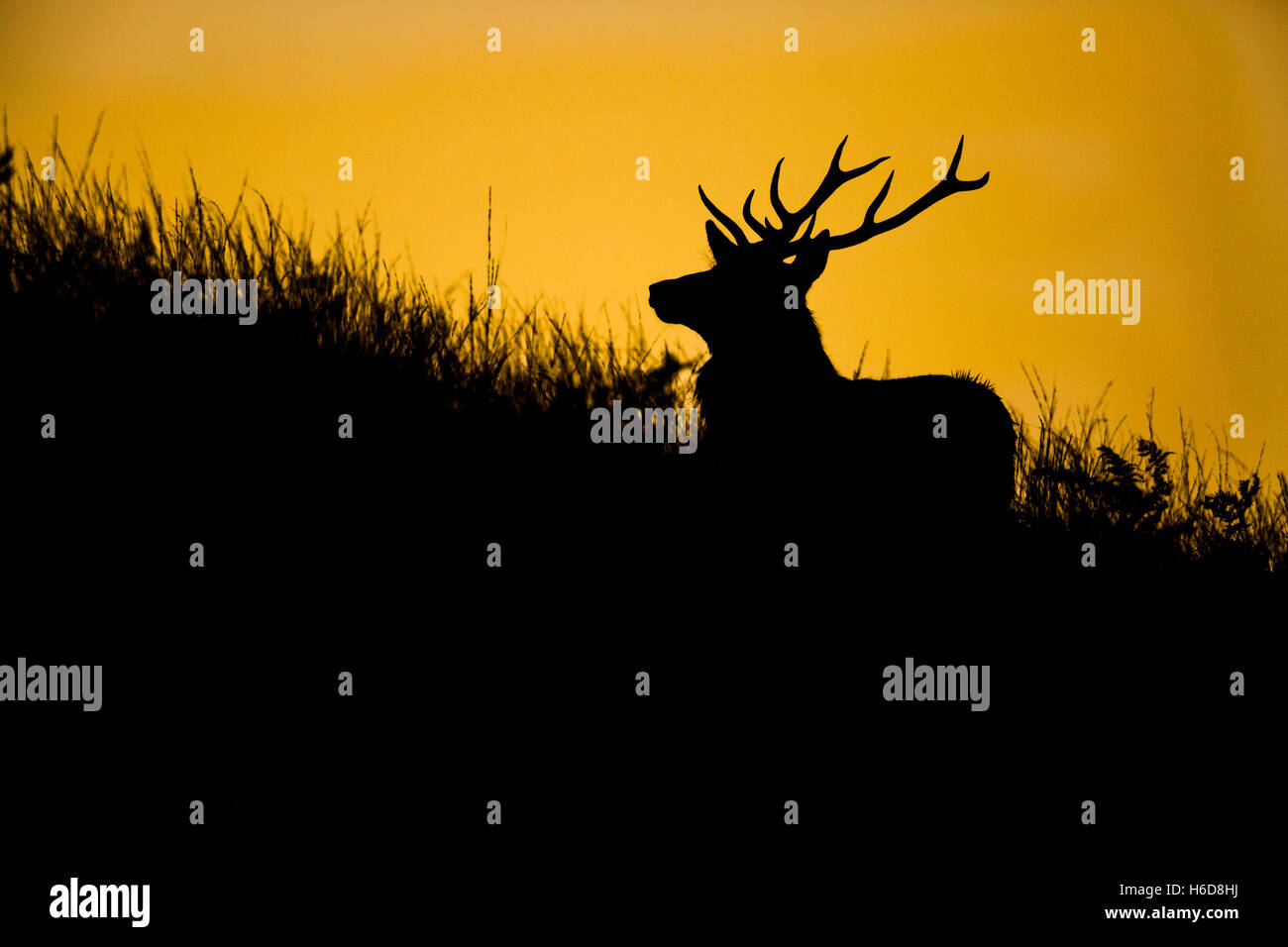 Silhouette of Red Deer stag in golden light. - Stock Image