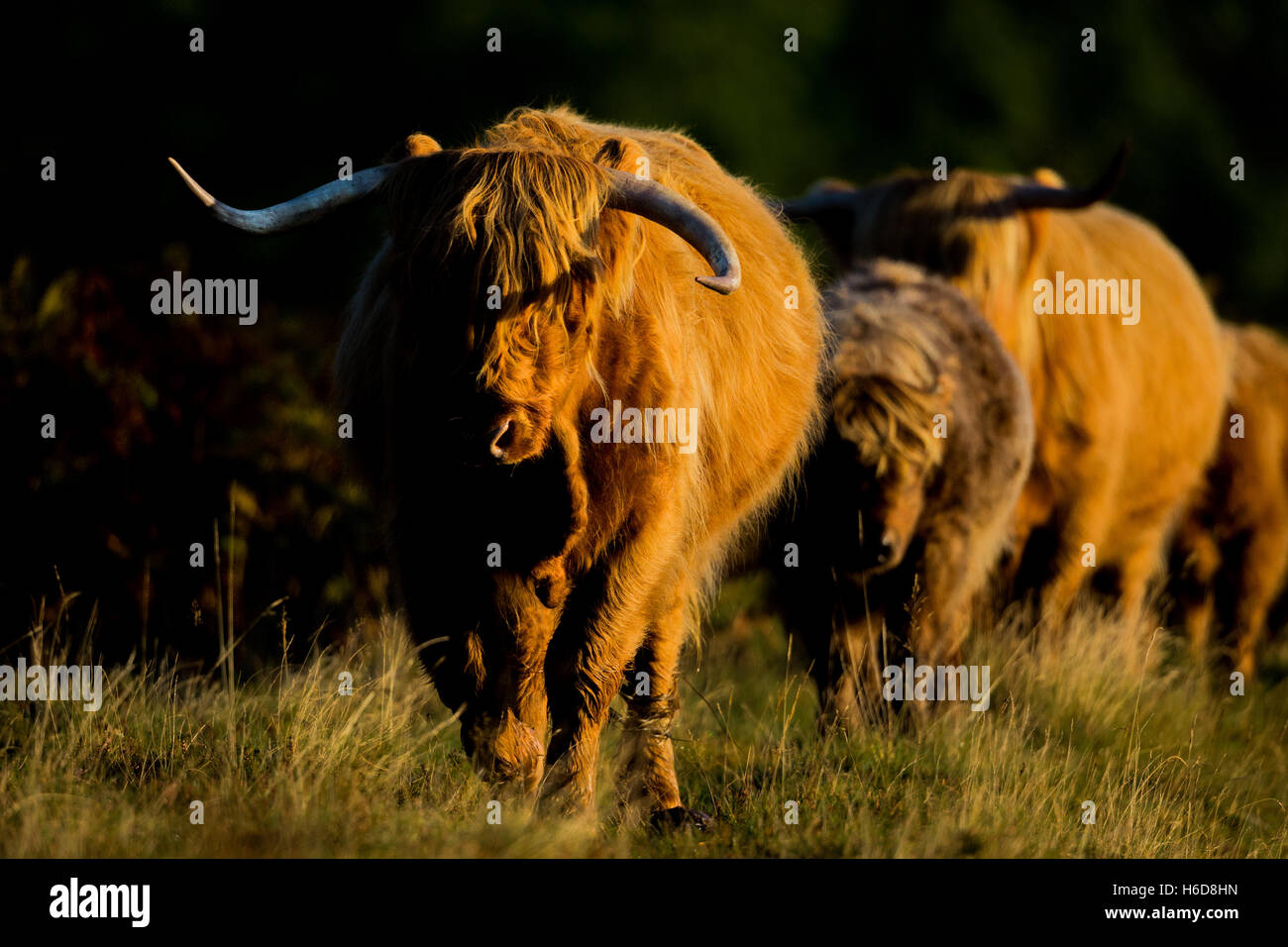 Highland cows in morning sunlight. - Stock Image