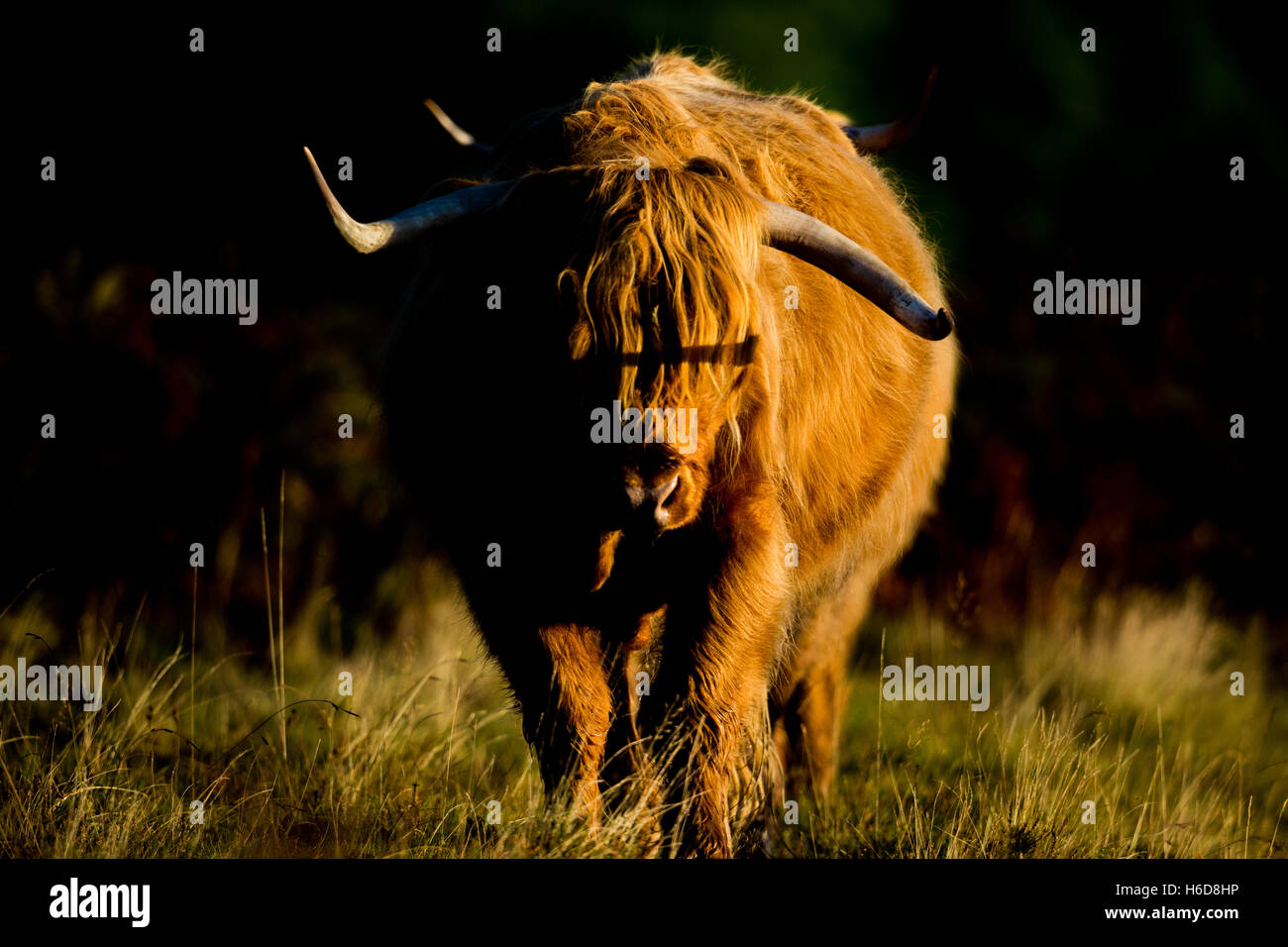 Highland cow in morning sunlight. - Stock Image