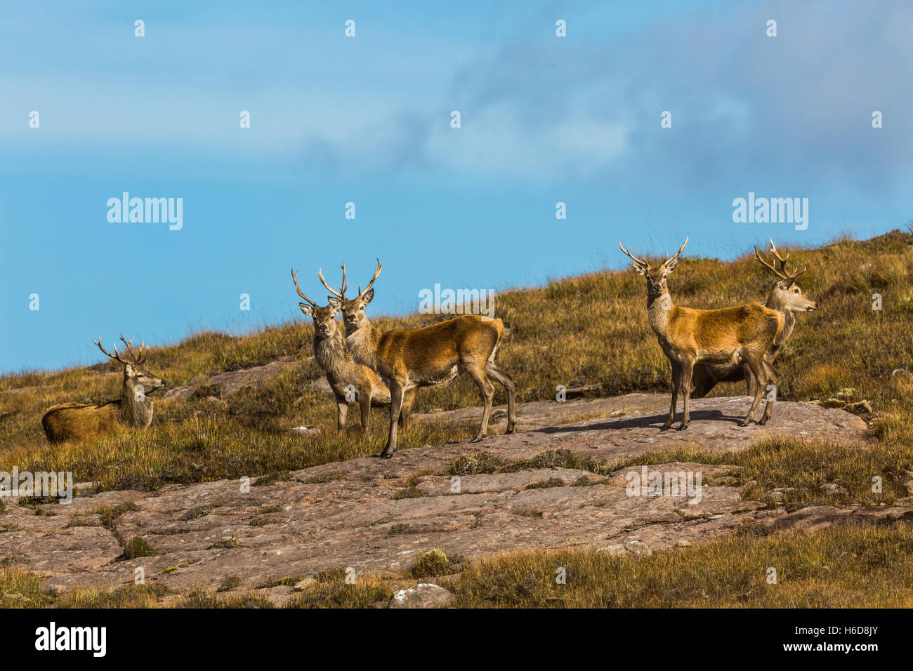 Red Deer stag on moorland in Scotland, UK - Stock Image