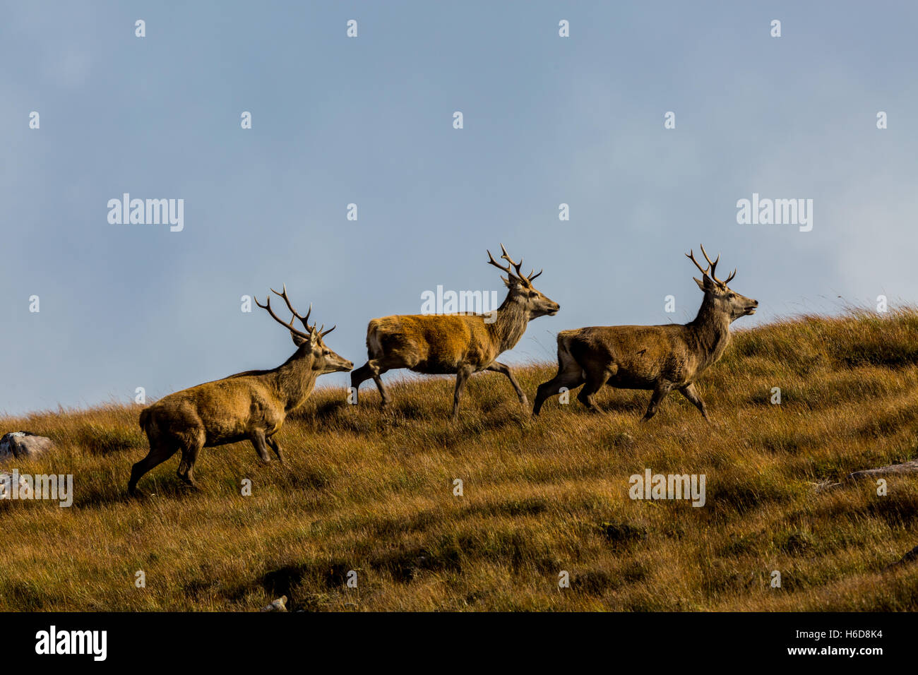 Red Deer stag on moorland in Scotland, UK - Stock Image