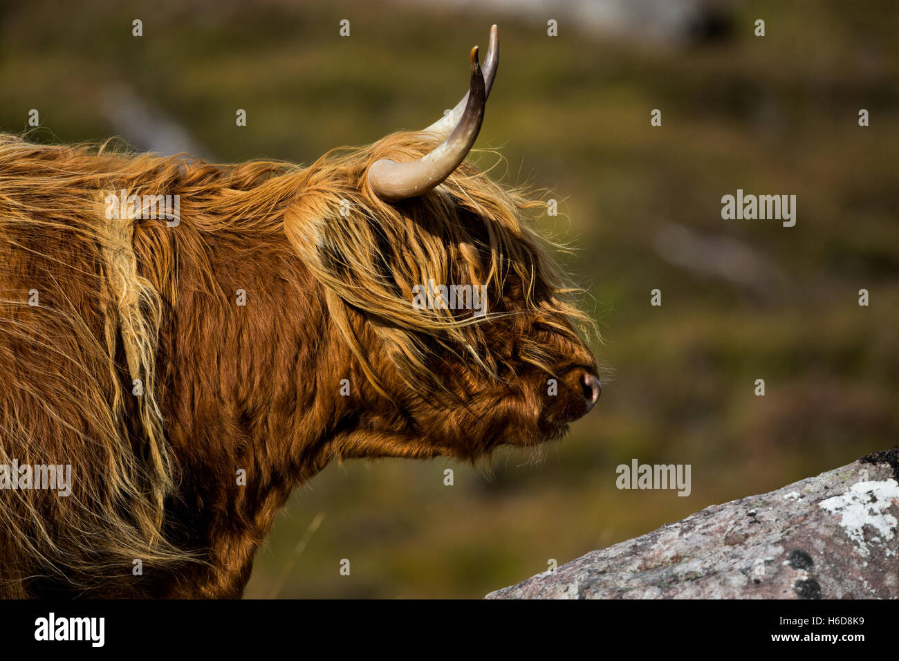 Highland Cow looking out over a rock. - Stock Image