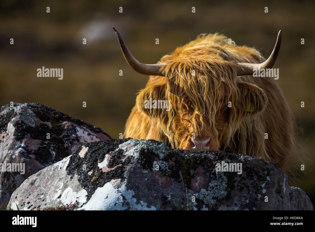 Highland Cow looking out from behind a rock. - Stock Image